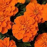 SEEDVALLEY Omaxe Marigold perfección Semillas de Naranja