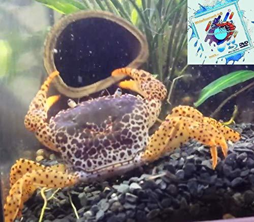 Topbilliger Tiere Panther Krabbe für`s Aquarium [ Parathelphusa pantherina ] Süßwasser - Krabbe