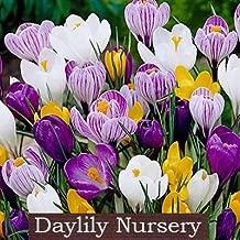 40 Jumbo Crocus Mixture - Crocus vernus & flavus by Daylily Nursery