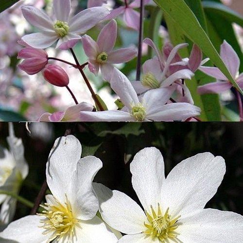 Immergrüne Clematis Kletterpflanzen (2 Pflanzen): Clematis Apple Blossom & Clematis Avalanche - Weiß/Rosa & Immergrün - 2 x 1,5 Liter Topfen | ClematisOnline Kletterpflanzen & Blumen