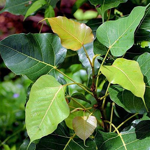 UEYR 20 Semillas de Bonsai SacredGreat Ornamental estándar Tropical o contenedor Ficus Religiosa