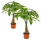 Pachira Aquatica   Glückskastanie im 2er Set - Zimmerpflanze im Gärtnertopf ⌀12 cm -↕ 30 cm