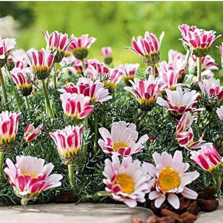 Tomasa Samenhaus- 100 Stück Bodendecker Afrikanisches Ringkörbchen, winterhart mehrjährig Blumensamen Saatgut exotische samen bienenfreundliche Blumen für Balkon, Garten
