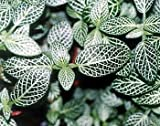 Silver Nerve Plant - Fittonia verschaffeltii - 4'ceramic Pot color-red unique from-jmbamboo