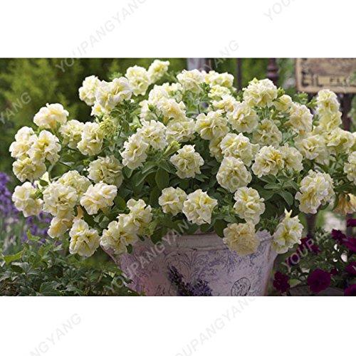 100pcs Bonsai Petunia pétales Graines couleurs mélangées Double Petunia Hybrid Seeds avec pack professionnel jardin décoration florale multicolore