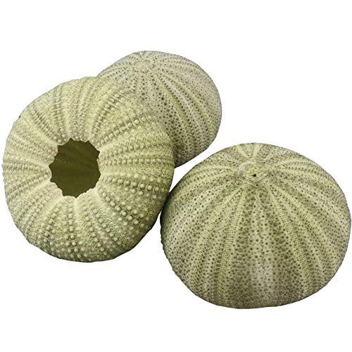 TinaWood Lot de 3 coquillages d'oursin vert naturel de 4,8 à 7,1 cm pour plantes aériennes, méduses, travaux manuels et décoration d'aquarium (vert)