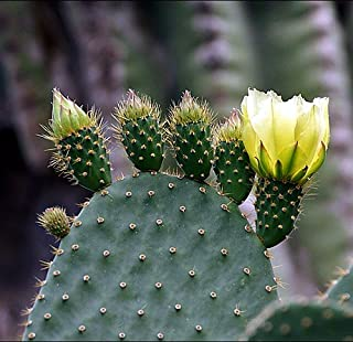Prickly Pear Cactus 15 Seeds - Mixed Opuntia Species