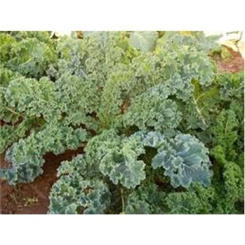 Dwarf Kale sibirischen Verbessertes Große Erbstück Gemüse 30.000 Samen von Samen Ki