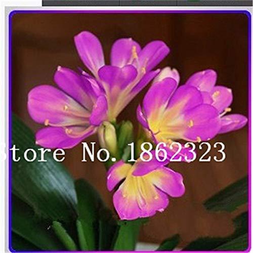 Bloom Green Co. 100 Pcs Clivia graines, semences rares chinois Clivia Couleur de la fleur, jardin bonsaïs Graine Semente de décoration de Noël Cadeau: 12