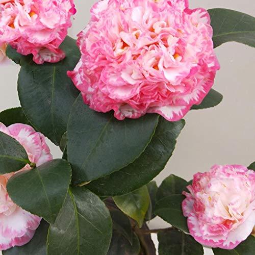 SummerRio 10 Stücke Kamelie Samen Camellia Sinensis Multi sorte Hausgarten Bonsai Blume