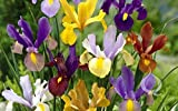 20 Dutch Iris Mix bulbs, Yellow, Purple, Violet, Blue and White, Now shipping