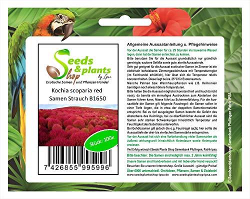 Stk - 100x Kochia scoparia red Strauch Zimmer Garten Pflanzen - Samen B1650 - Seeds Plants Shop Samenbank Pfullingen Patrik Ipsa