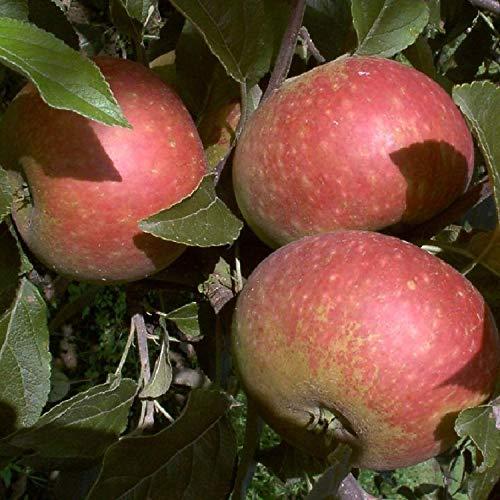 Ingrid Marie Apfel Apfelbaum Obstbaum...