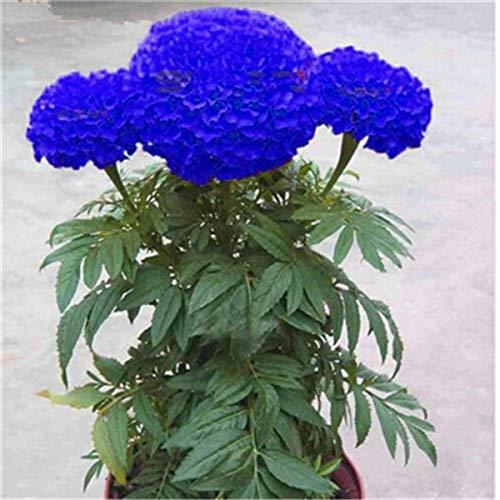 Kalash Neue 100 PC Marigold Blumensamen für Garten blau