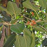 Pinkdose150pcs semillas de bonsái Weeping Fig - Ficus benjamina Inicio Bonsai Plant Green Tree