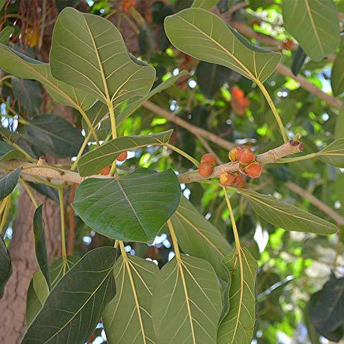 Ficus religiosa sacré Figuier semences de plantes ornementales plantes tropicales (15)