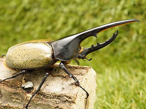 ヘラクレスヘラクレスオオカブトペアオス135mmUP累代CB(虫)