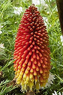 Best giant red hot poker plant Reviews