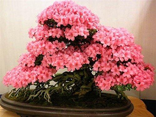10pcs / sac japonais graines de sakura, graines de cerise graines bonsaï graines de fleurs de jardin de fleurs de cerisier
