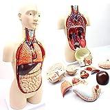 Menschlicher Torso Modell 16-teilig Doppel-Sex menschlicher Torso Modell, mit herausnehmbaren Organen