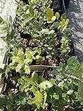 4 piante leccio micorizzate con tartufo scorzone nero estivo (tuber aestivum vitt.)