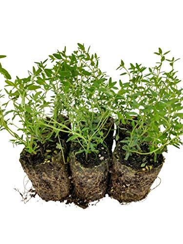 Thymian Jungpflanzen | kleine Thymian Pflanzen | echter Thymian | Aromatisch | Winterhart | Thymian Faustinoi | ⌀3,5cm Wurzelballen (6)