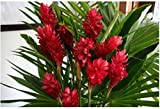 Red Hawaiian Ginger Alpinia Purpurata Roots...