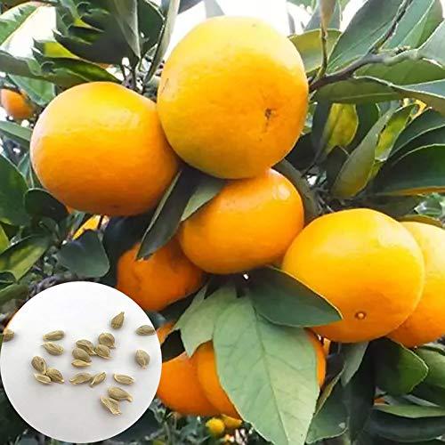 Benoon Orangenbaumsamen, 30 Stück/Beutel Orangenbaumsamen Lebensfähige, Fruchtbare, Mehrjährige Gartenpflanzensämlinge Für Den Außenbereich Orangenfrucht