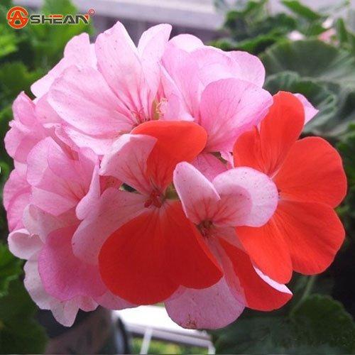 Balcon rouge et Géraniums Potted blanc Graines de fleurs en pot Plantes Diy jardin 20 Pieces/Lot orange