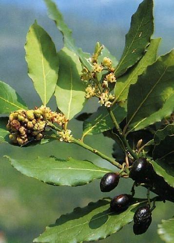 TROPICA - Gewürzlorbeerbaum (Laurus nobilis) - 6 Samen