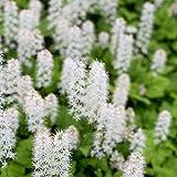 Outsidepride Foamflower - 1000 Seeds