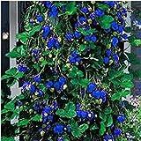 ypypiaol 200 Unids Blue Strawberry Seeds Home Garden Granja Al Aire Libre Deliciosa Fruta Nutritiva Planta Semillas de fresa
