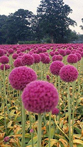 Pinkdose 2016 seltene Lila Riesen Zwiebel Allium Giganteum Blume Blume Bonsai Pflanze DIY Hausgarten Freies Verschiffen Kreative 20 stücke
