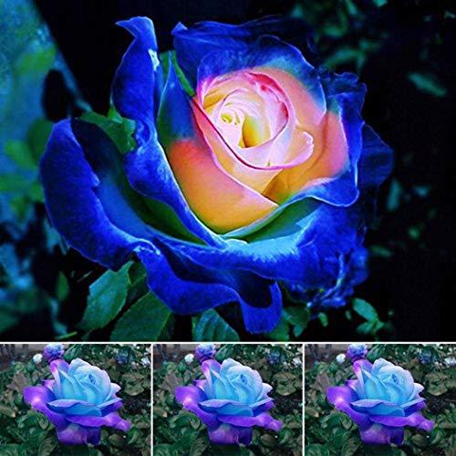 TOMASA Seedhouse- 50 Semillas de rosa azul Semillas de Flores Rainbow