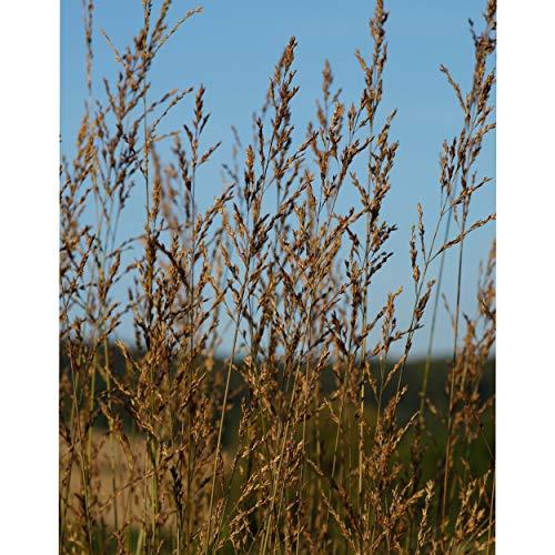 Blumixx Stauden Molinia arundinacea 'Fontäne' - Hohes Pfeifengras gelbbraun
