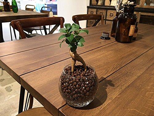 ガジュマル ハイドロカルチャー 観葉植物 インテリア 多幸の木 がじゅまる ガジュマルの木 北欧 おしゃれ モダンラウンドグラス