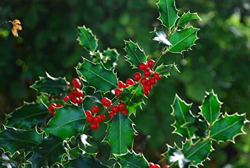15 Semillas Acebo (Ilex Aquifolium)