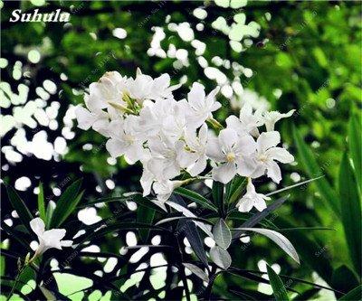 150 Pcs Nerium Graines Oleander plantes en pot semencier japonais Jardin Décoration Bloom Graine Facile à cultiver purifient l'air 6
