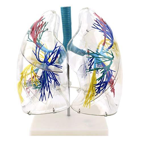 WJH Transparent Bronchialbaum Thoraxchirurgie Atem Medizinische Ausbildung Ausbildungshilfe Anatomische Lungenmodell Menschliche Lunge Segment Anatomie