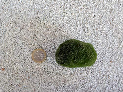 Tropica Aquarium Pflanze Mooskugel L 4-7cm Aquariumpflanze Algen Reinigung