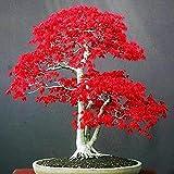 20Pcs Red Maple Seeds Palmatum Plant Bonsai Home Garden Patio Decoración Semillas de arce