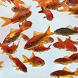 Toledo Goldfish Live Comet Common Feeder Goldfish for Ponds, Aquariums or...