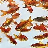 Toledo Goldfish Live Comet Common Feeder Goldfish for Ponds, Aquariums or Tanks – USA Born and Raised – Live Arrival Guarantee (Medium, 2 to 2.5 inches, 50 Fish)