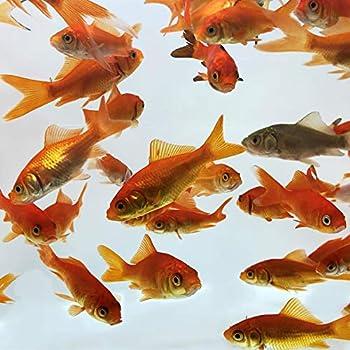 Best live feeder fish Reviews