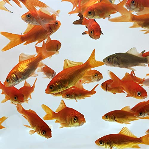 Toledo Goldfish Live Comet Common Feeder Goldfish for Ponds, Aquariums or Tanks – USA Born and Raised – Live Arrival Guarantee (Small .75 to 1.5 inches, 50 Fish)