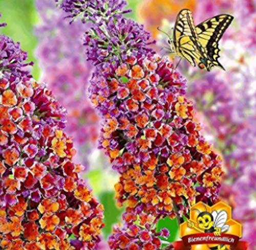 """TOMASA Seedhouse- Semi di fiore Buddleia, estate lilla""""Babiana Mix"""" farfalla lilla ornamentale arbusto fiori esotici resistente perenne per bal"""