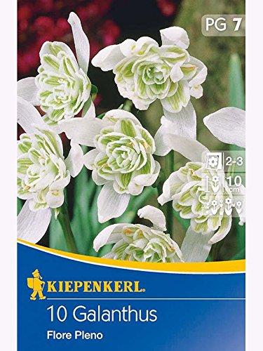 Galanthus nivalis Floro Pleno Schneeglöckchen gefüllt weiß