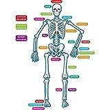 Teacher Created Resources - 77241 Human Skeleton...