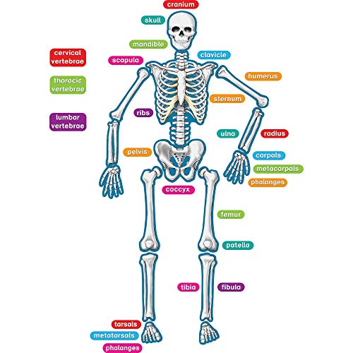 Teacher Created Resources - 77241 Human Skeleton Magnetic Accents