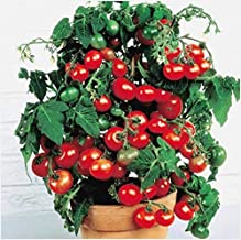 Dwarf Bush Tomato Organic Seeds up to 25 Seeds